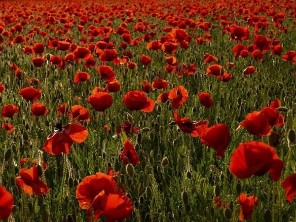 Backlit Poppies by Alandyv8