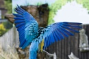 Macaw fanning its wings