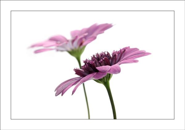 Delicate Pinks...... by ejtumman