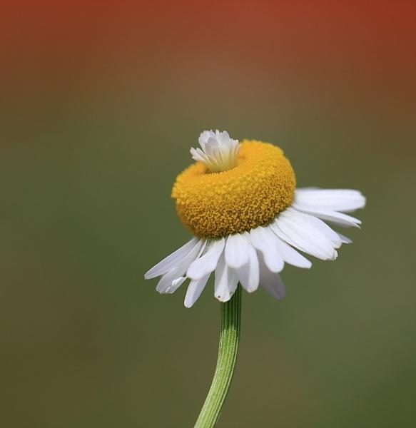 Daisy by steve5452