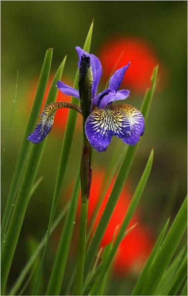 Iris sibirica by BeiK
