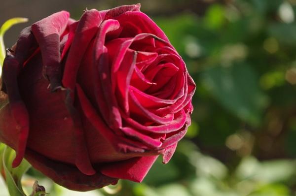 Red rosebud by 700