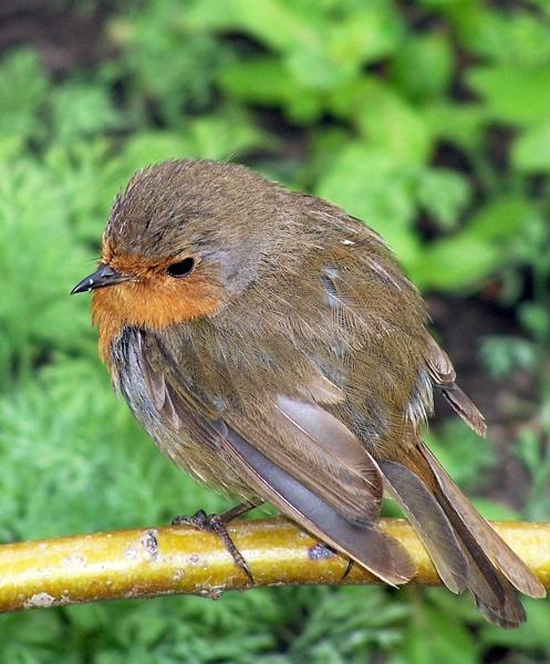 Robin. by Kezz