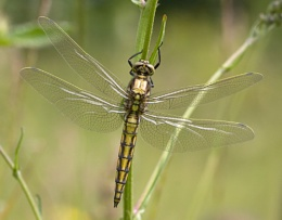 Black Tailed Skimmer