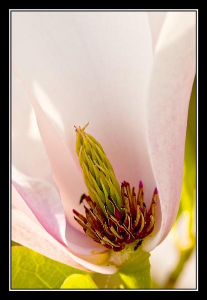 Magnolia. by TrevorH