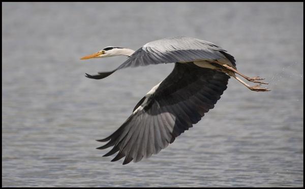 HERON IN FLIGHT by cornish_chris