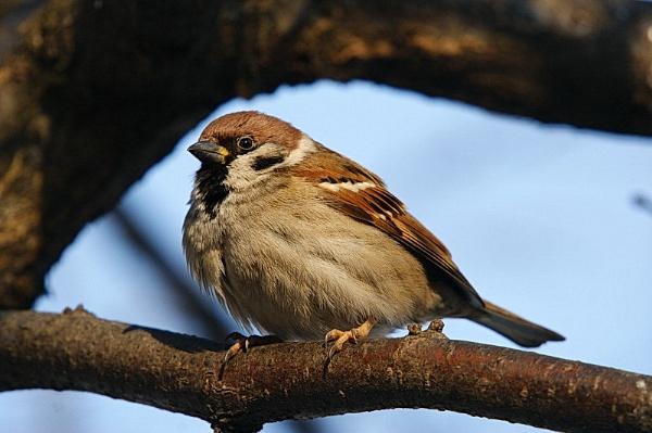 field sparrow by zmecanin