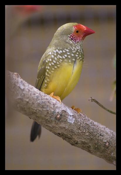 Male Star Finch by TonyBrooks