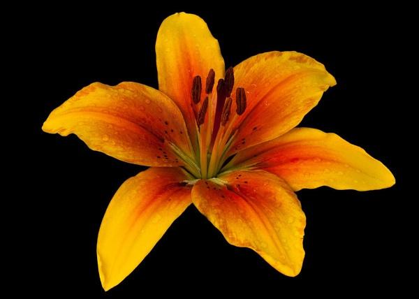 Summer Flower by paddyman