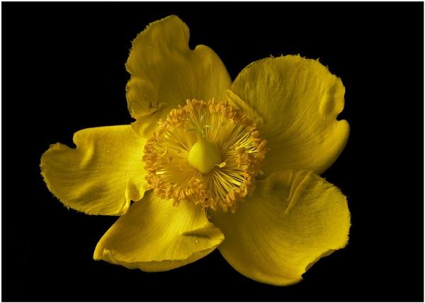 Yellow Flower by paddyman