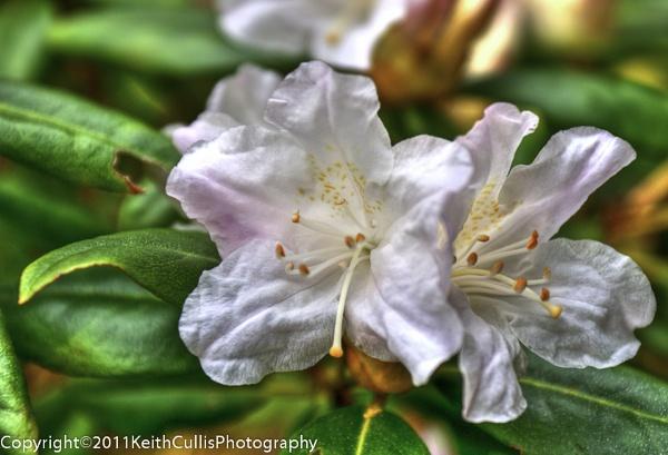 Azalia (rhododendron) by KeithCullis