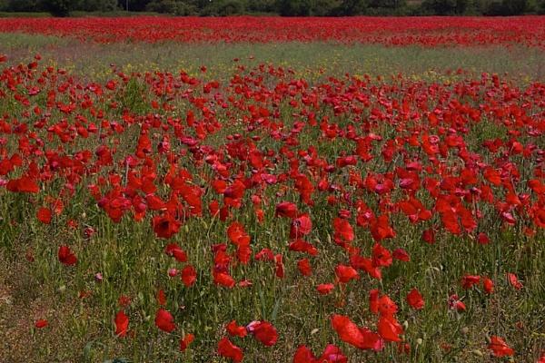 Poppy Field by phil19belfield