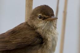Marsh Warbler ? ID wanted