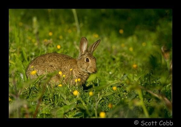 Common Rabbit by Adderwatcher
