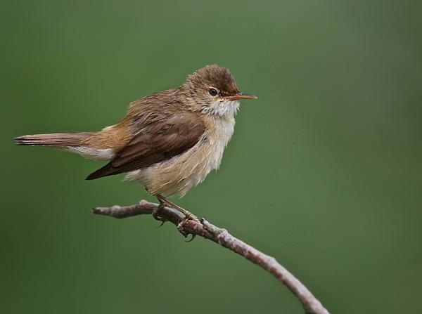 Reed Warbler by LukeParkinson