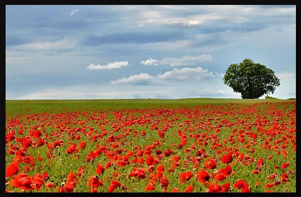 Scarlet Fields by tedman1