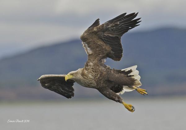 Male White Tailed Sea Eagle by nikonworld