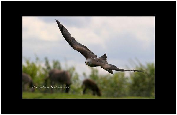 Black kite by soulofharmony