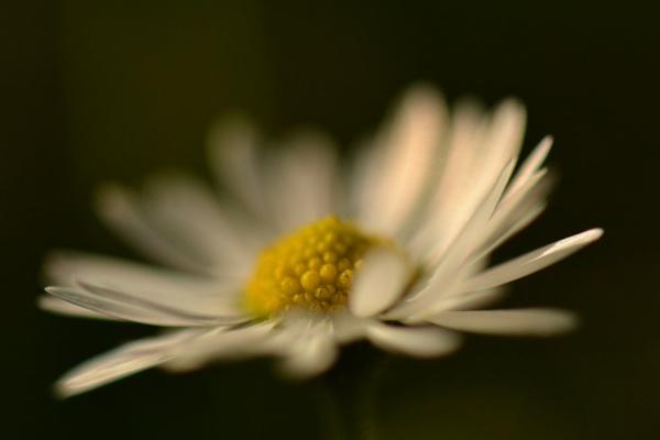 Daisy by colinbear