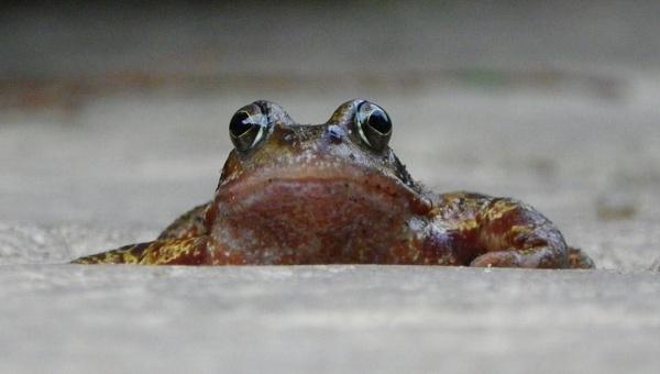Common Frog by Samuel_Aron
