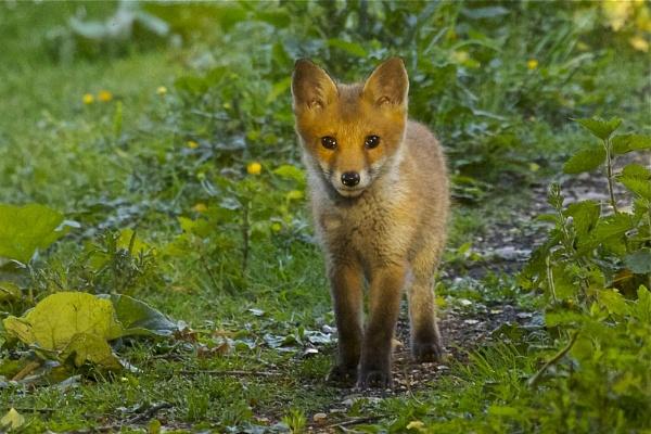 Fox Cub by anders25