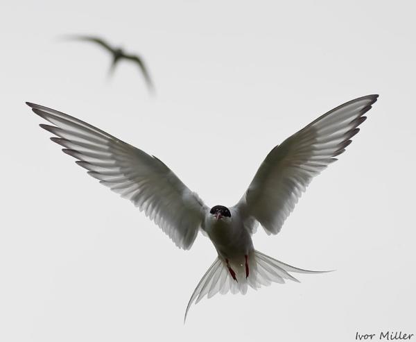 tern by tattsdurham