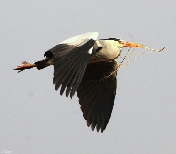 heron in flight by hotwings