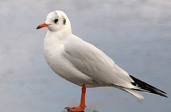Juvenile gull by rhol2