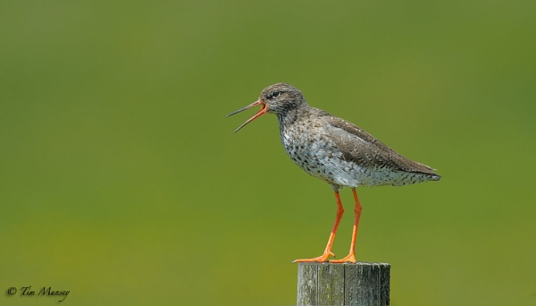 Redshank revisited by TimMunsey