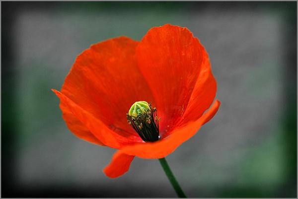 poppy by Heffo1