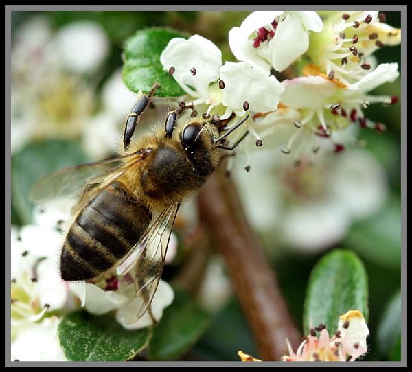 Honey bee by Heffo1