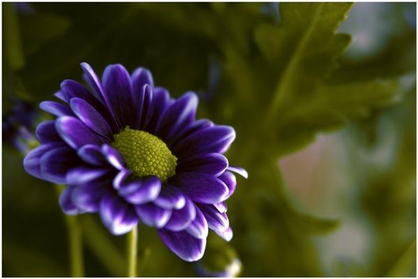 Chrysanthemum close by shawy