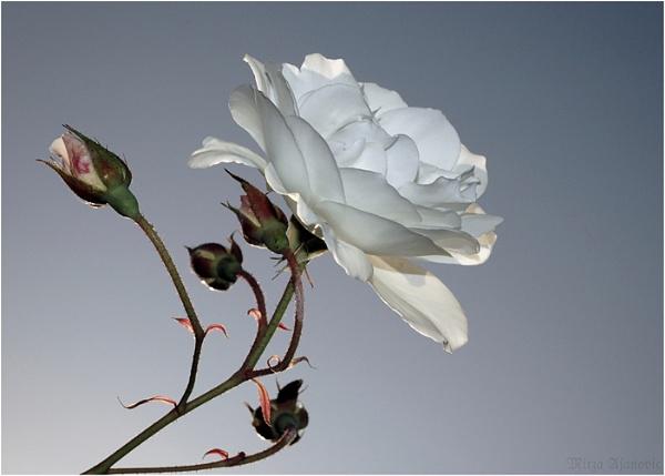 Rosa Blanca by Ajanovic