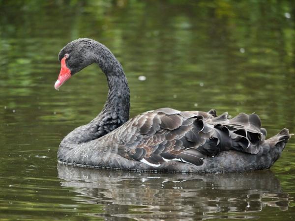 Black Swan by heron