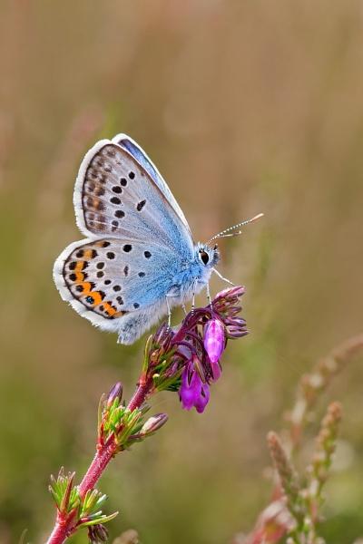 Silver studded Blue by Julian