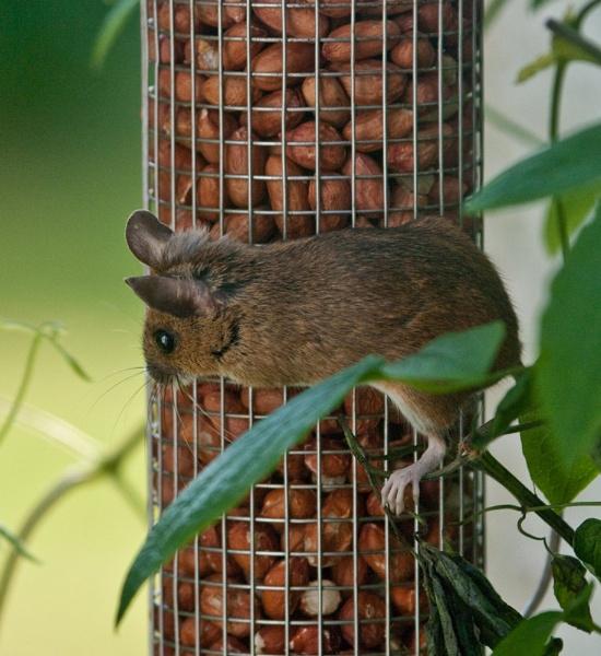 Peanut raider by johnbushell