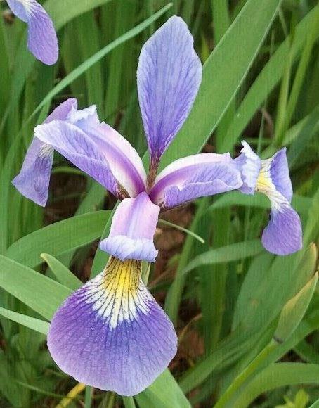 Purple Iris by Mychael