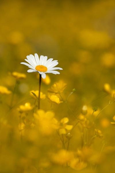 Sea of yellow by Greyheron