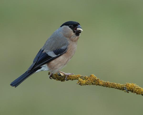 Bullfinch (female) by Steve_S