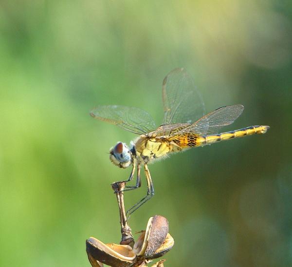 Zanzibar Dragonfly by MaryMac