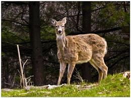 D - a - Deer!