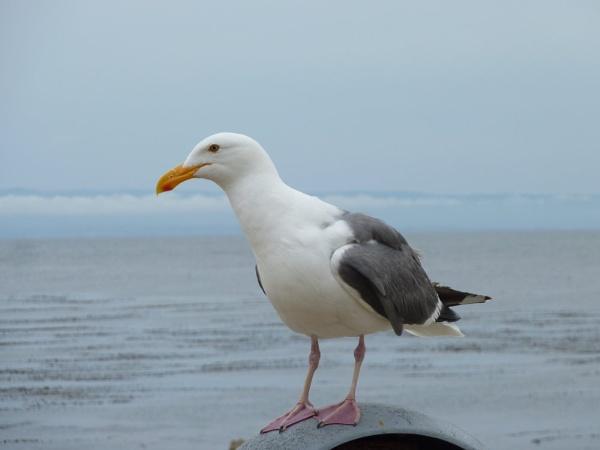 Seagull by esperanza