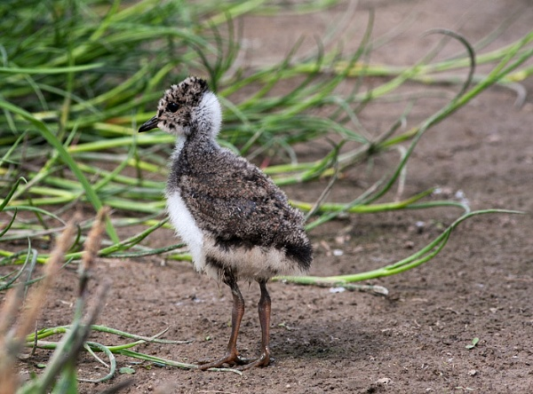 Lapwing Chick by MikeS