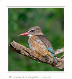 Brown-hooded Kingfisher - Female