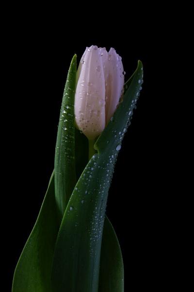 Cradled White Tulip by morpheus1955