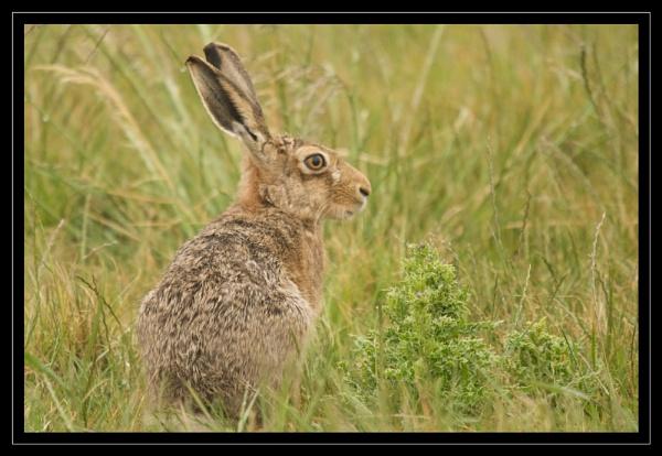 Hare by GaryR