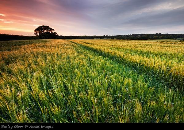 Barley Glow by NexusImages