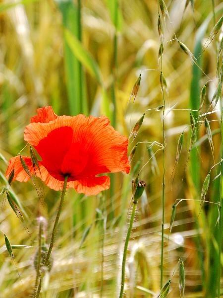 Backlit Poppy by stevebidmead