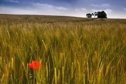 Ripening Crops