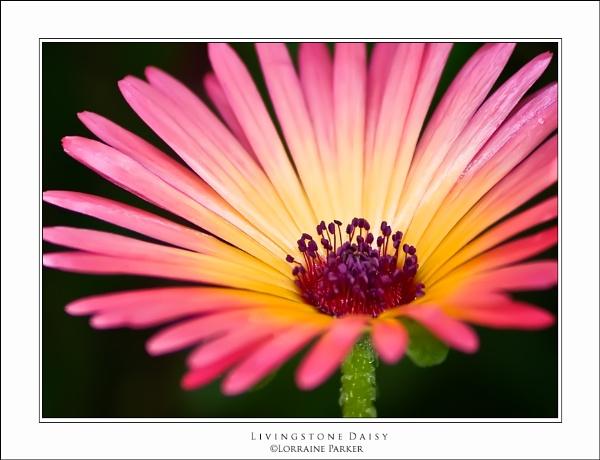 Livingstone Daisy by skye1